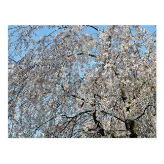 Cartão Postal Árvore de cereja Weeping: Japão