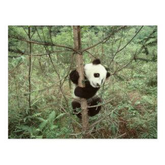 Cartão Postal Árvore de escalada do filhote da panda, Wolong,