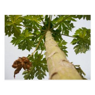 Cartão Postal Árvore de papaia, Nigéria