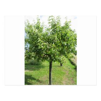 Cartão Postal Árvore de pera com folhas do verde e frutas