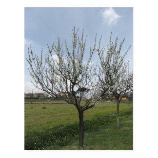 Cartão Postal Árvore de pera de florescência no jardim Toscânia,