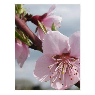Cartão Postal Árvore de pêssego de florescência contra o céu