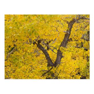 Cartão Postal Árvore do Cottonwood em cores máximas da queda na