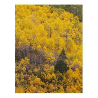 Cartão Postal Árvores 12 do rio e do álamo tremedor de Provo