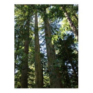 Cartão Postal Árvores da sequóia vermelha de costa