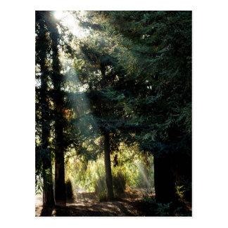 Cartão Postal Árvores da sequóia vermelha na manhã