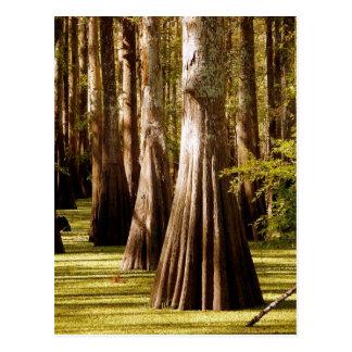 Cartão Postal Árvores de Cypress calvo com troncos do suporte
