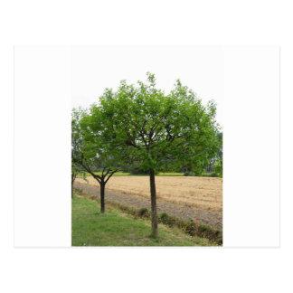 Cartão Postal Árvores de fruta com as folhas do verde no
