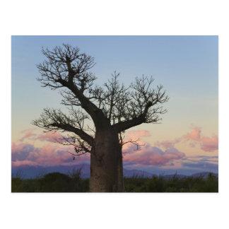 Cartão Postal Árvores do Baobab, Berenty, Toliara, Madagascar
