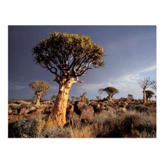 Cartão Postal Árvores do Quiver (aloés Dichotoma)