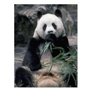 Cartão Postal Ásia, China, Chundu, panda gigante