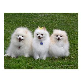 Cartão Postal Assento de 3 Pomeranians