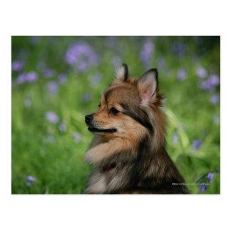 Cartão Postal Assento do Headshot de Pomeranian