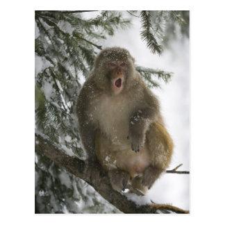 Cartão Postal Assento do macaco de Macaque do Rhesus (mulatta do