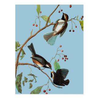 Cartão Postal Audubon: Chickadee