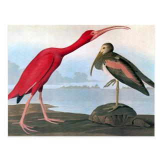 Cartão Postal Audubon: Escarlate dos íbis
