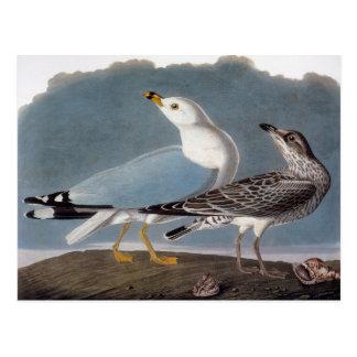 Cartão Postal Audubon: Gaivota Anel-Faturada