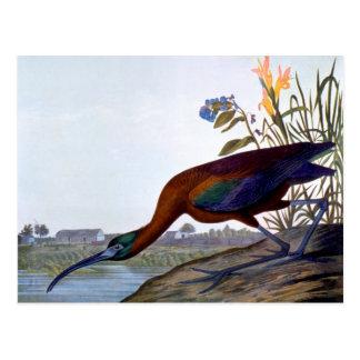 Cartão Postal Audubon: Íbis lustrosos