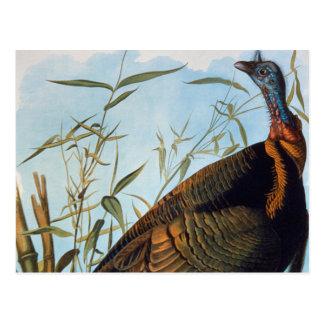 Cartão Postal Audubon: Turquia selvagem