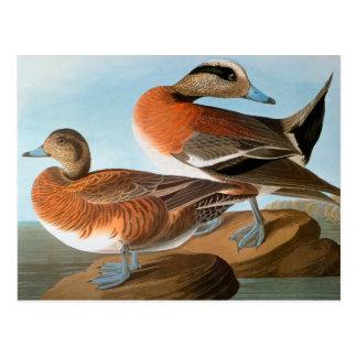 Cartão Postal Audubon: Wigeon