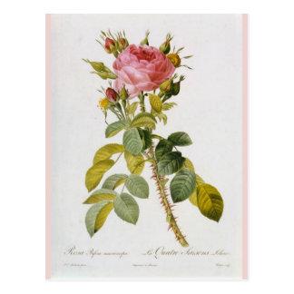 Cartão Postal Aumentou o impressão botânico Rosa Bifera por