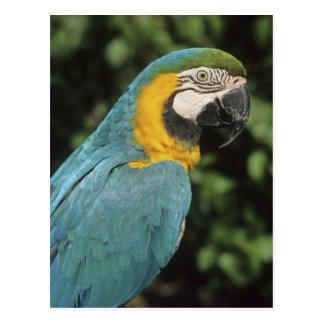 Cartão Postal Aurarana azul e amarelo do Macaw, do Ara),