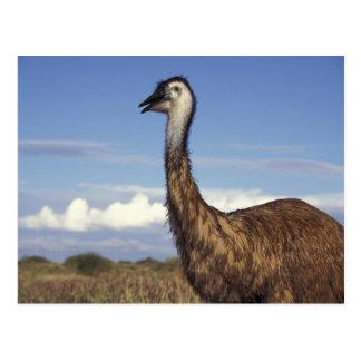 Cartão Postal Austrália, Austrália Ocidental. Emu (Dromaius