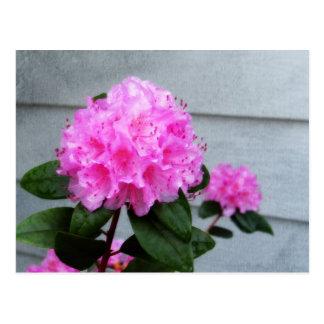 Cartão Postal Azálea cor-de-rosa