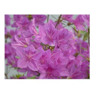 Cartão Postal Azálea cor-de-rosa na flor