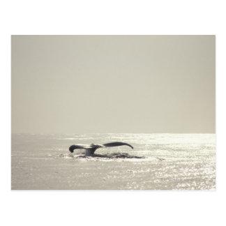 Cartão Postal Baleia de Humpback, cauda sobre a superfície da