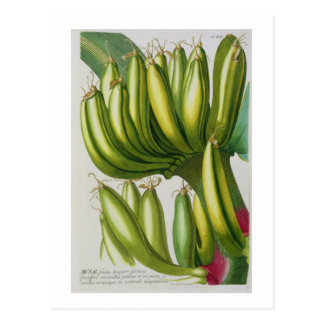 Cartão Postal Banana, gravada por Johann Jakob Haid (1704-67) pl