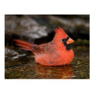 Cartão Postal Banho masculino cardinal do norte