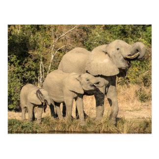 Cartão Postal Bebendo da família do elefante