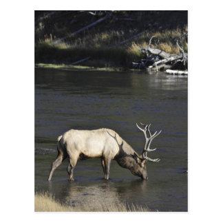 Cartão Postal Bebendo dos alces de Bull do rio de Madison