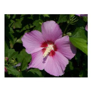 Cartão Postal Beleza no rosa