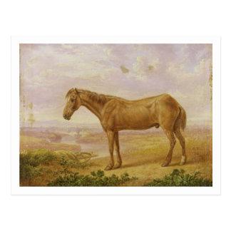 Cartão Postal Billy idoso, um cavalo de esboço, envelhecido 62