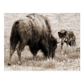 Cartão Postal Bisonte agressivo da caça do lobo