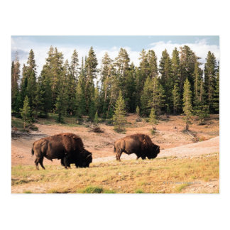 Cartão Postal Bisonte no parque nacional de Yellowstone, Wyoming
