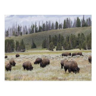 Cartão Postal Bisonte no vale de Hayden de Yellowstone
