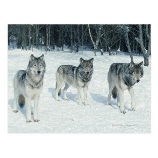 Cartão Postal Bloco dos lobos na borda da floresta nevado