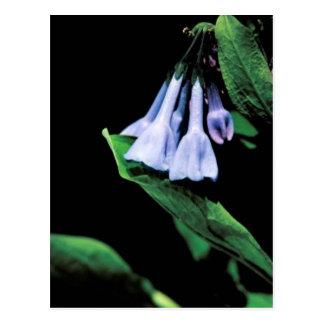 Cartão Postal Bluebells de Virgínia