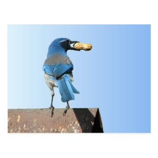 Cartão Postal Bluebird bonito