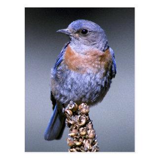 Cartão Postal Bluebird ocidental