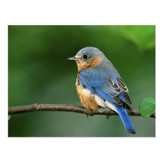 Cartão Postal Bluebird oriental fêmea, sialis do Sialia