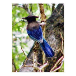 Cartão Postal Bluebirds 3