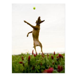 Cartão Postal Bola de tênis de travamento do cão no meio do ar