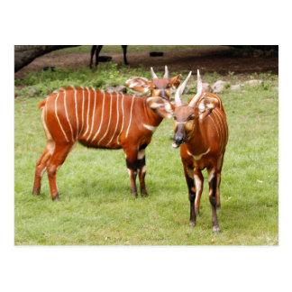 Cartão Postal bongos africanos 3