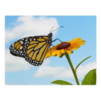 Cartão Postal Borboleta de monarca em uma Susan de olhos pretos