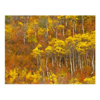 Cartão Postal Bosque do álamo tremedor Quaking na cor máxima do
