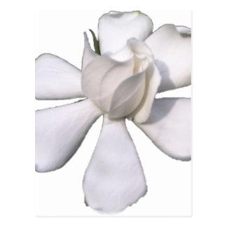 Cartão Postal Botão branco 201711g do Gardenia